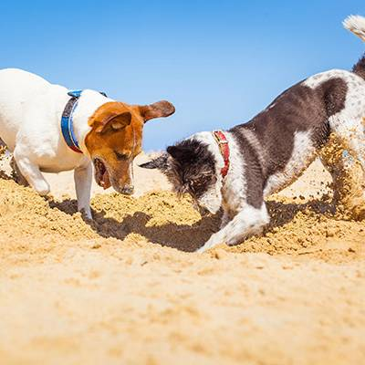 jack russell couple of dogs digging a hole in the sand at the beach on summer holiday vacation ocean shore behind